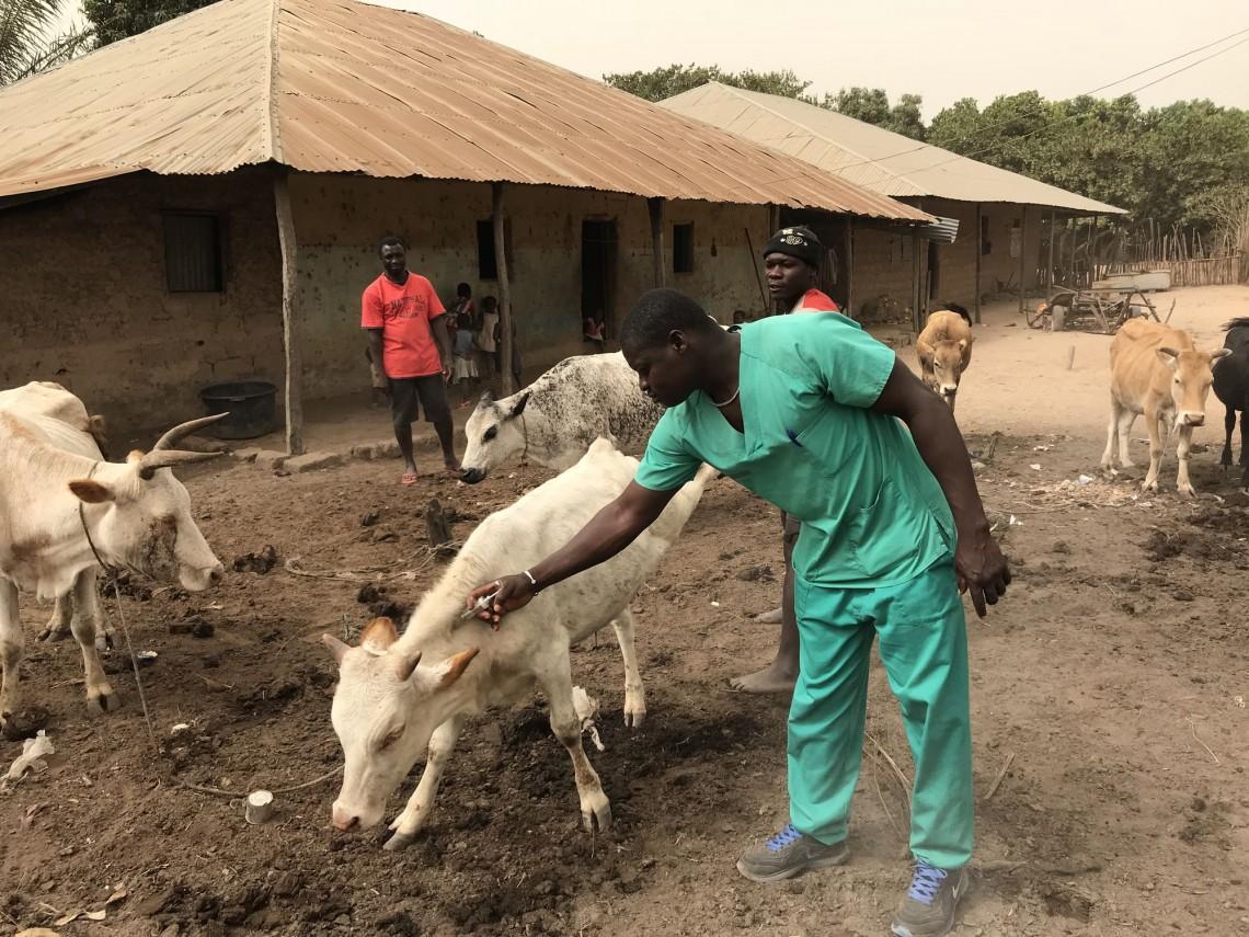 Nord-Guinea-Bissau: Die Gesundheit der Herde ist eine Frage des Überlebens