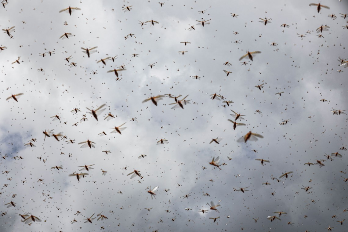 Caught between extremes: Violence, drought, flooding, and now a locust invasion
