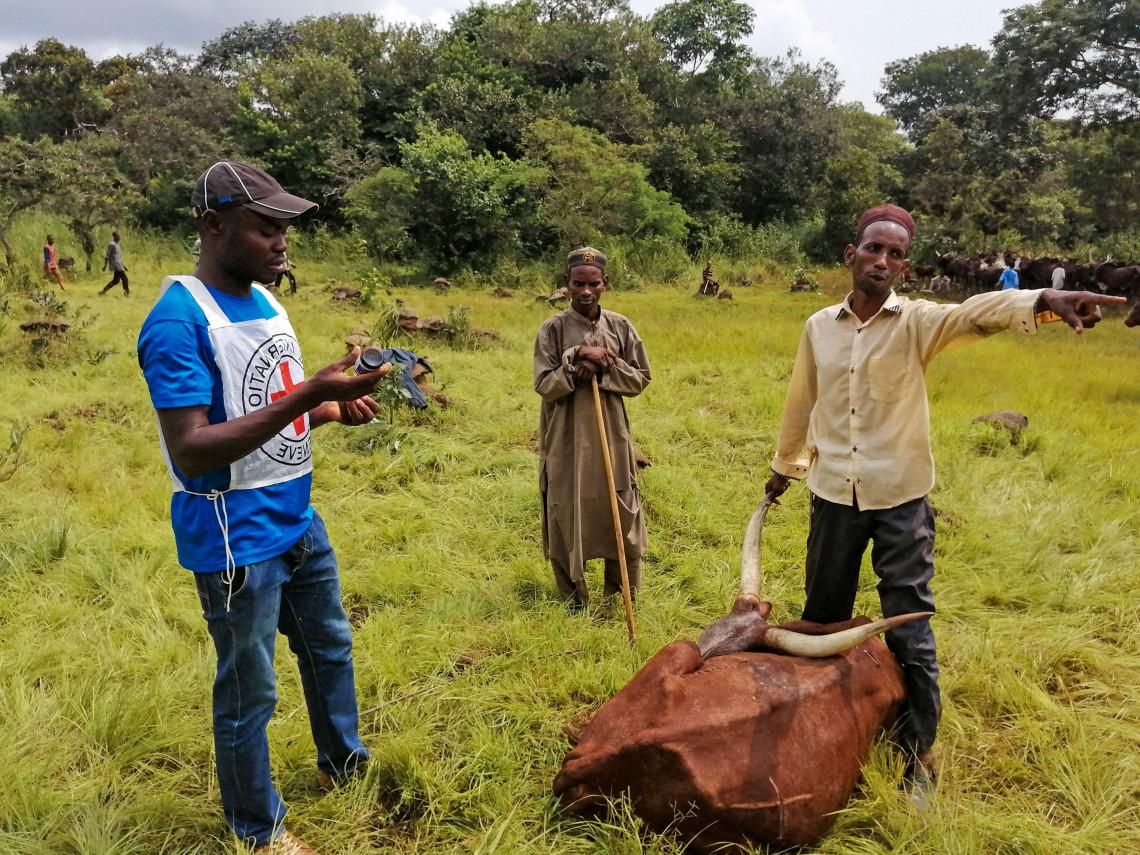Ein infizierter Ochse vor seiner Impfung im Dorf Maloum.