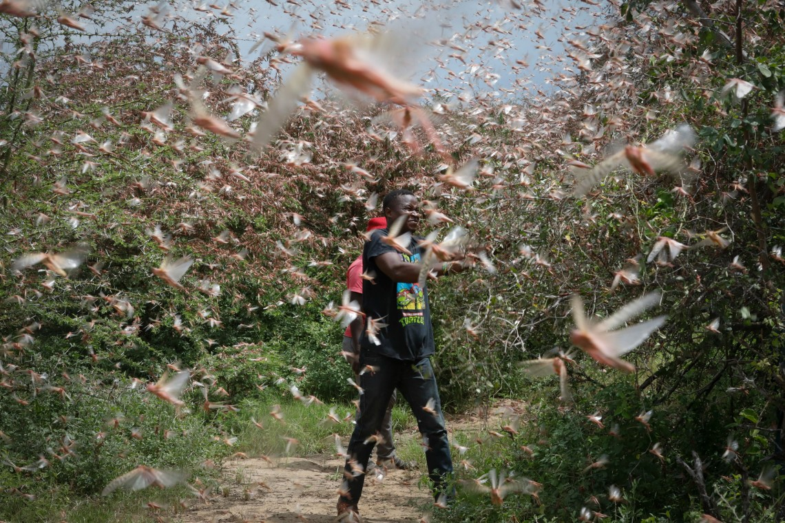 Theophilus Mwendwa, a local farmer in Kitui County, Kenya tries to chase away a swarm of desert locusts. Photo: EPA