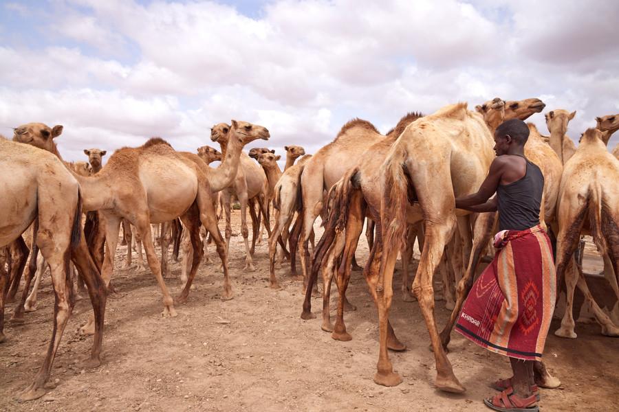 Ahmed Mohamud a voyagé pendant des jours à la recherche d'eau et de pâturages.