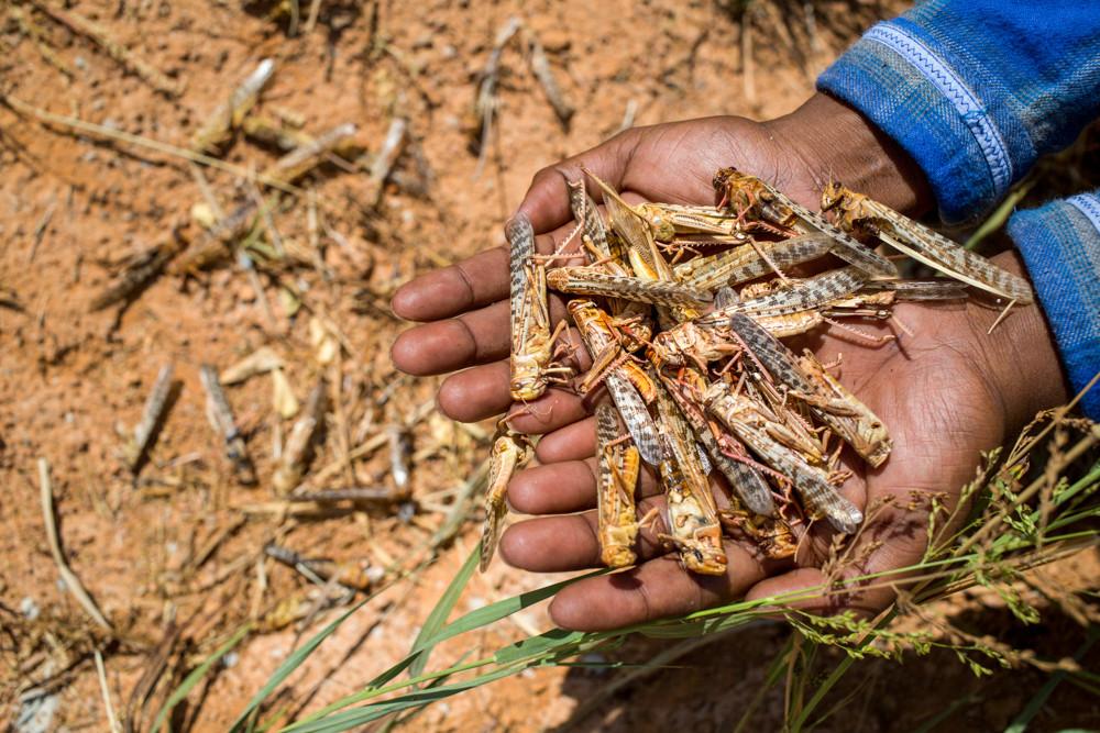 Les essaims de criquets ont provoqué des pertes massives de récoltes et encore aggravé l'insécurité alimentaire.